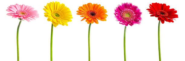 Colorful gerberas daisies picture id185302603?b=1&k=6&m=185302603&s=612x612&w=0&h=nn78jx as0pt0u6zunpeyqbrjj ef4bp xqwyjk7dp0=