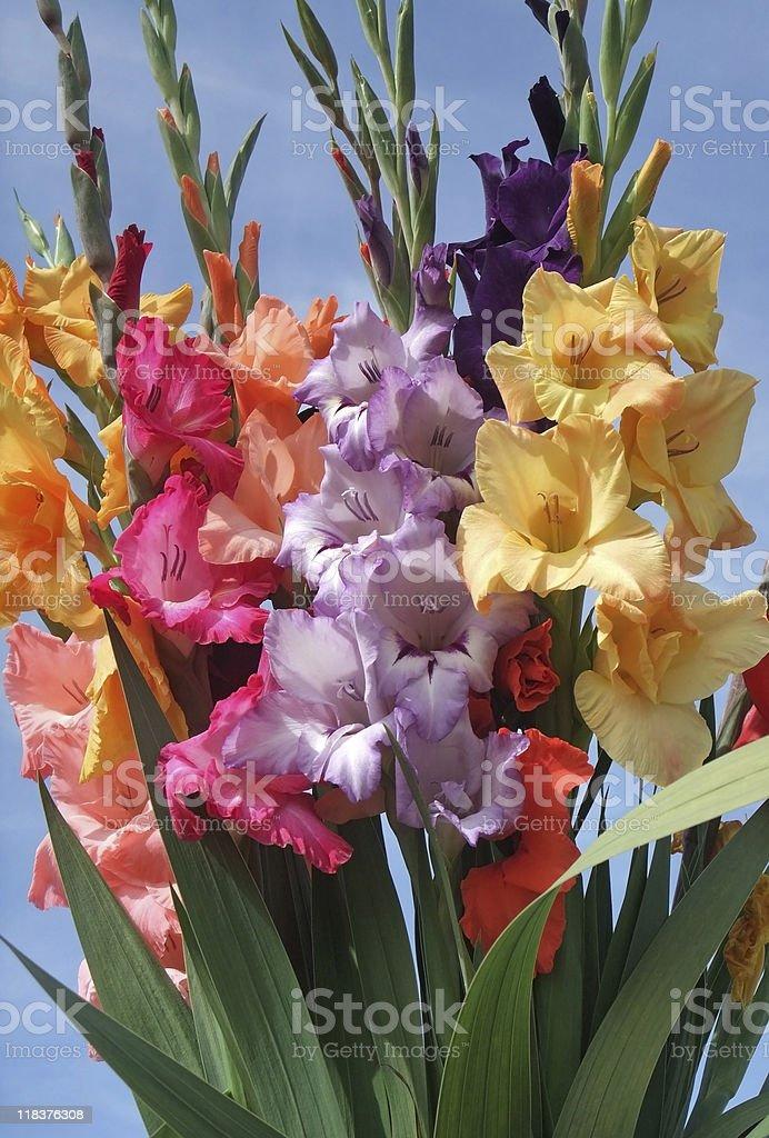 colorful gladioli royalty-free stock photo