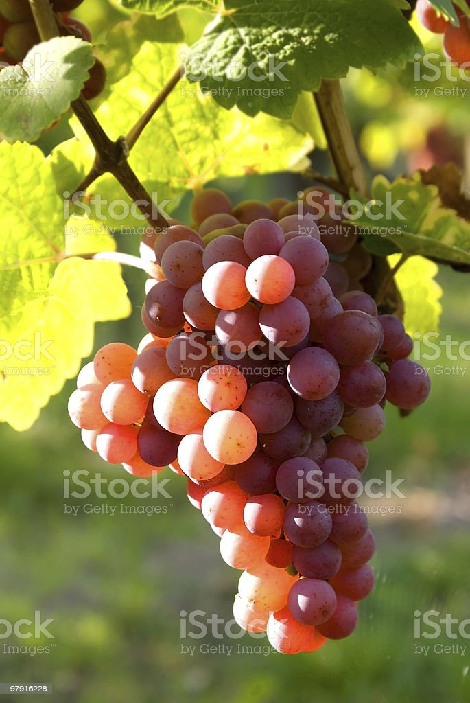 Colorful Grapes royalty-free stock photo