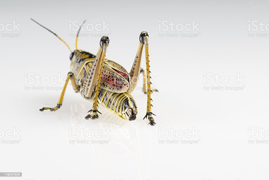 Colorful grasshopper about to bounce away. royalty-free stock photo