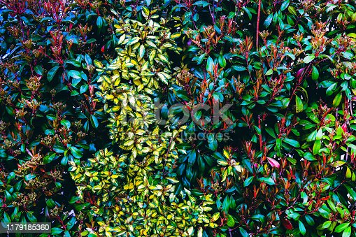 Natural green leaf wall. Colorful green hedge blossoms in spring. Texture background pattern. Front view.