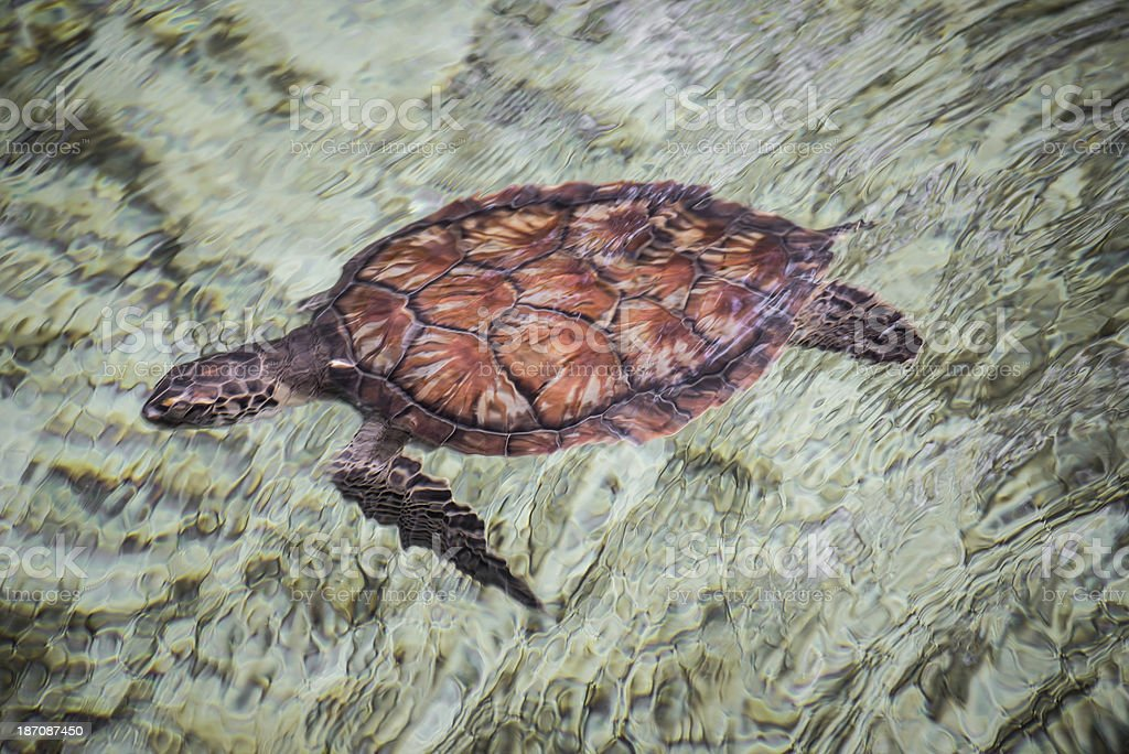 Colorful Green Sea Turtle royalty-free stock photo