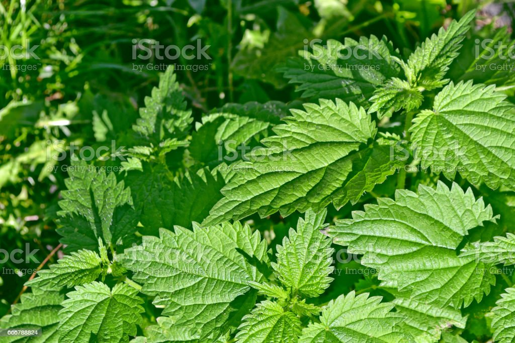 colorful green stinging nettle leaves. stock photo