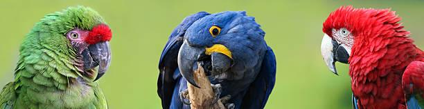 colorful group of macaws - arara vermelha retrato - fotografias e filmes do acervo