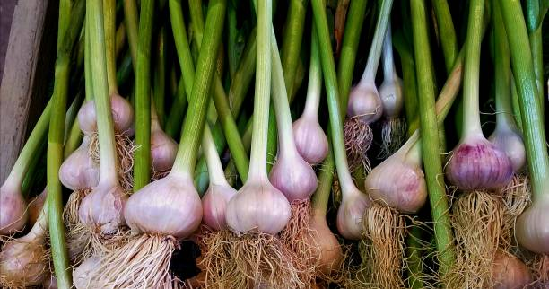 Colorful Group of Raw, Ripe Onion Bulbs, Top View, Farmer's Market Style stock photo