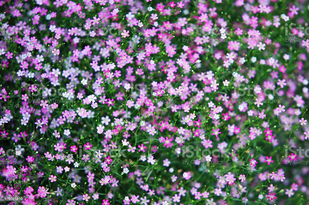 colorful gypsophila flower as background. stock photo