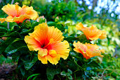 庭でカラフルなハワイアン ハイビスカス