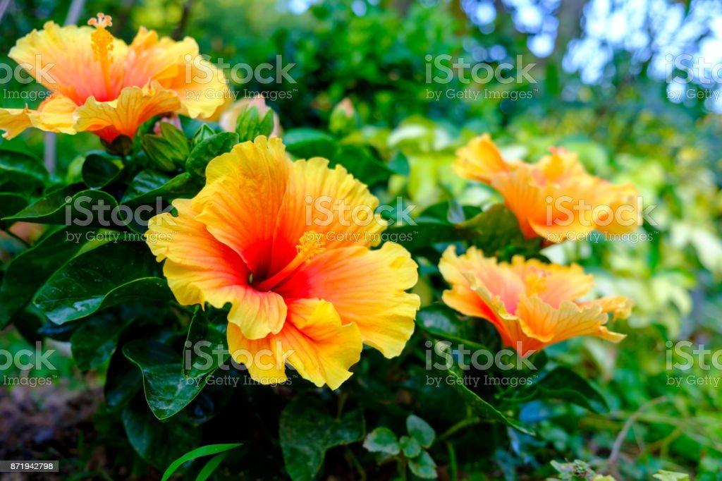 Colorful Hawaiian hibiscus in the garden stock photo