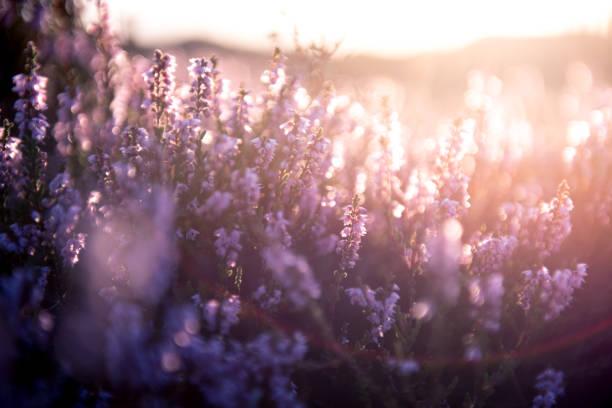 Bunte Heide bei Sonnenuntergang – Foto