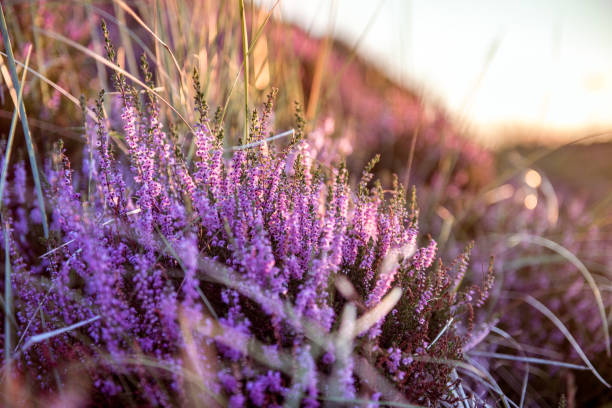 Colorful heather at sunset Colorful heather at sunset heather stock pictures, royalty-free photos & images