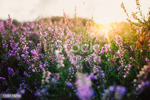 Colorful heather at sunset