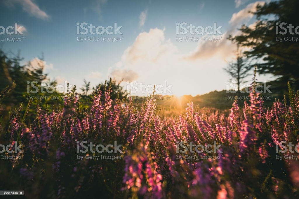 colorful heather at sunset stock photo