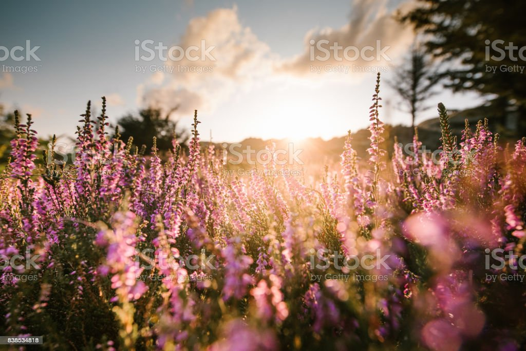 colorful heather at sunset colorful heather at sunset Amrum Stock Photo