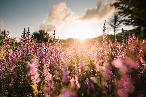Colorful Heather At Sunset Stock Photo - Download Image Now