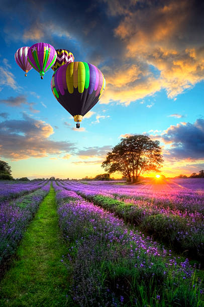 Colorful hot air balloons over lavender landscape stock photo
