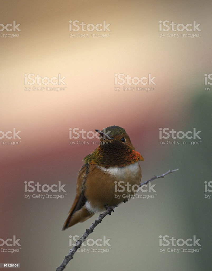 colorful hummingbird resting on a branch. royalty-free stock photo