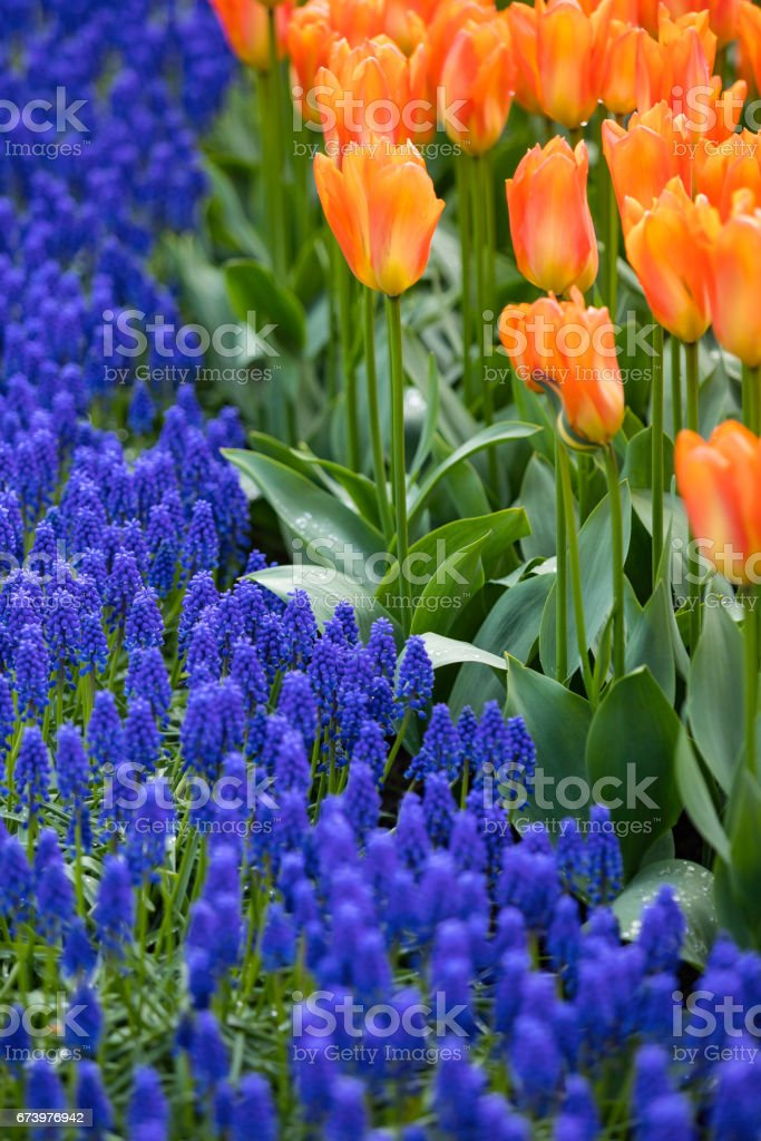 colorful hyacinths and tulips royalty-free stock photo