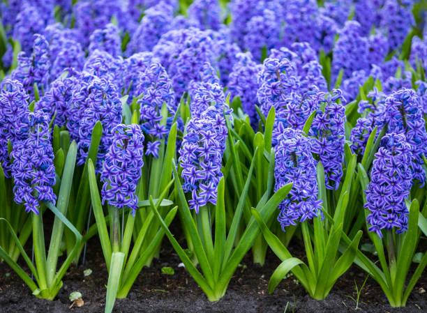 다채로운 hyacinths - 히아신스 뉴스 사진 이미지