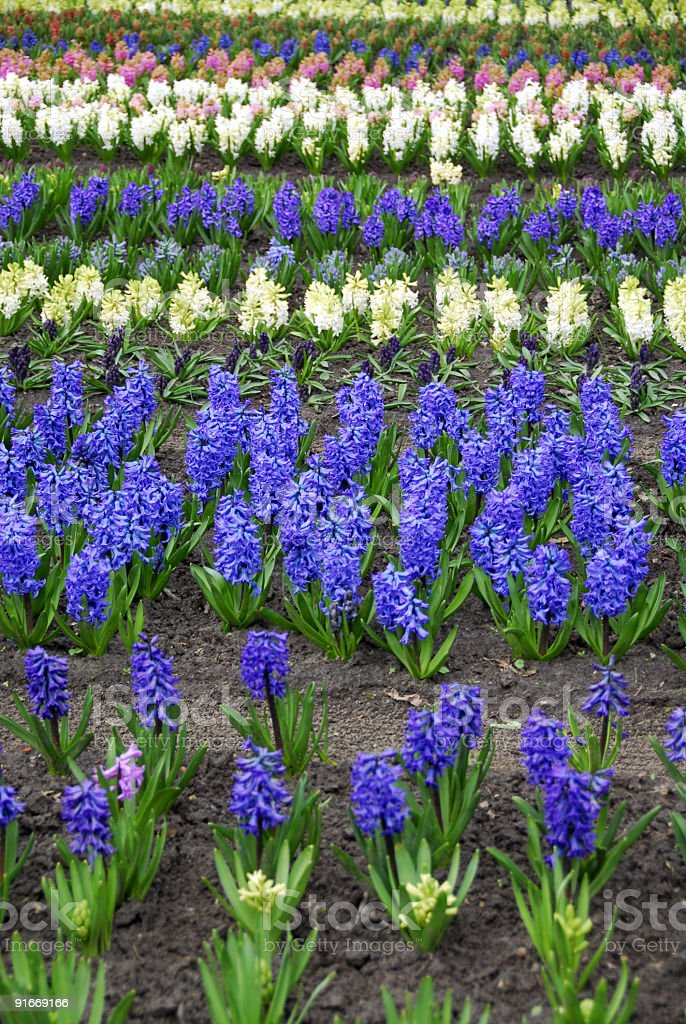 Colorful hyacinths royalty-free stock photo