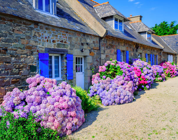 kleurrijke hortensia's bloemen in een klein dorp, bretagne, frankrijk - hortensia stockfoto's en -beelden