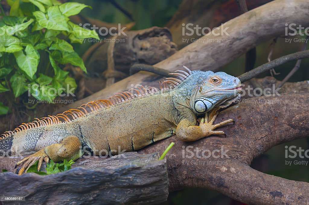 Colorful iguana ( reptile ) in tree stock photo