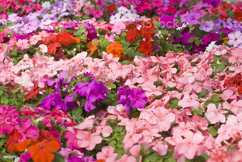 Colorful Impatiens Flowers royalty-free stock photo