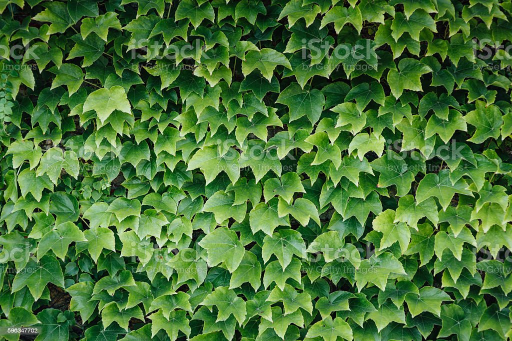 Colorful ivy leaves in Summer, background Lizenzfreies stock-foto