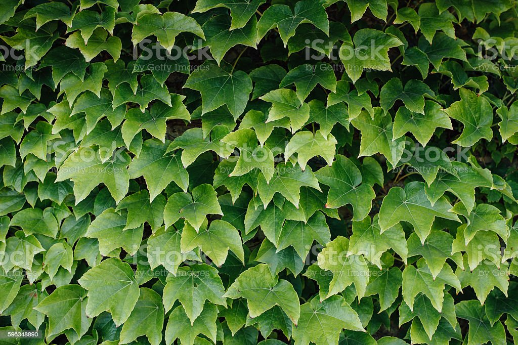 Colorful ivy leaves in Summer, royalty-free stock photo