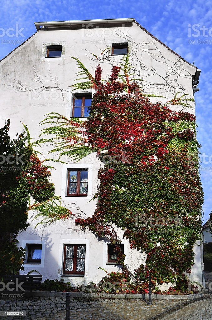 Colorful ivy on the wall. royalty-free stock photo