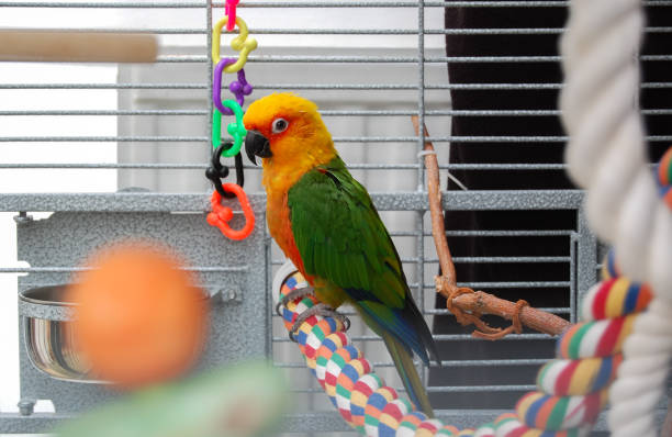 Colorful Jandaya conure parrot. Pet in cage. stock photo