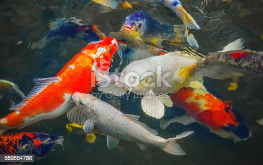 1037450870 istock photo Colorful Japanese carp swimming in the pond of a pack. 589554786