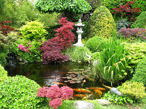 Colorful Japanese garden with koi fish pond