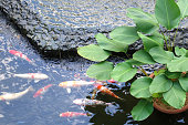 Colorful Japanese Koi Carp fish in a lovely pond, selective focus.