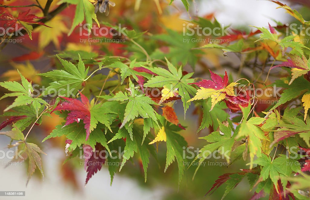 Colorful Japanese maple leaves at fall stock photo