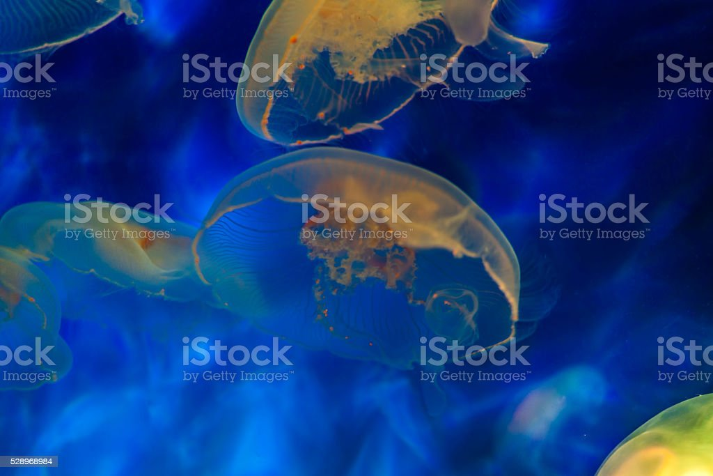 colorful jellyfishes in blue and yellow stock photo