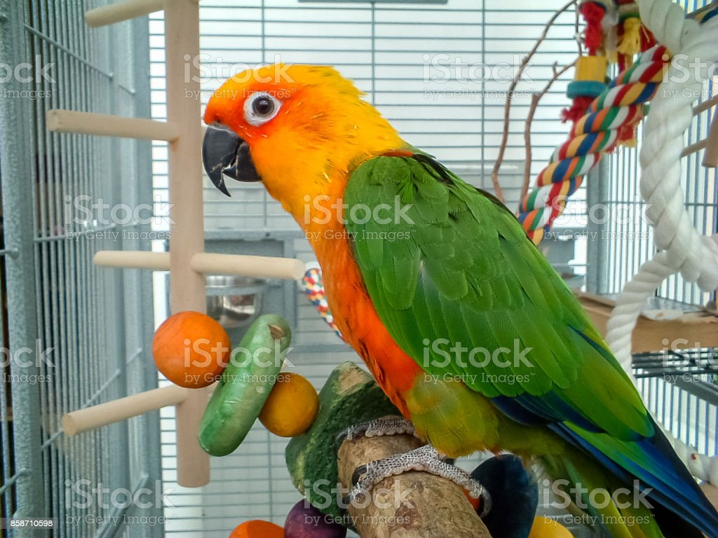 Colorful Jenday Conure parrot. Pet in cage. stock photo