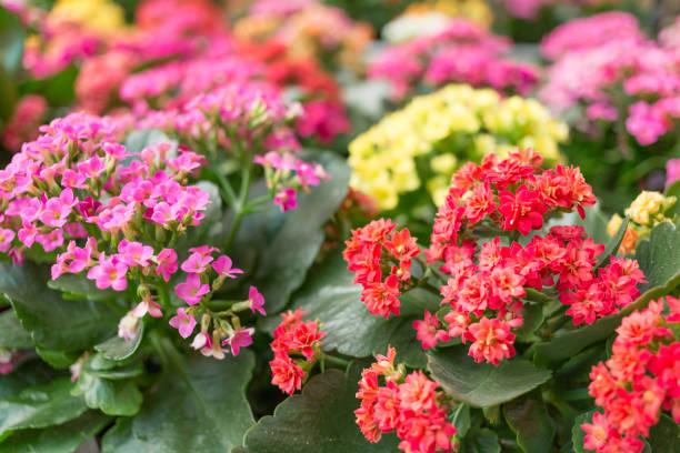 핑크, 레드, 옐로우 컬러풀한 칼란초 - 관상용 식물 뉴스 사진 이미지