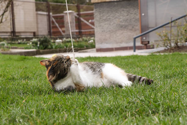 Colorful kitten lying in the grass and playing with a rope. She bites him, gets tangled in him and is happy Colorful kitten lying in the grass and playing with a rope. She bites him, gets tangled in him and is happy. disjointed stock pictures, royalty-free photos & images