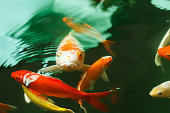Colorful koi fish feeding in a pond