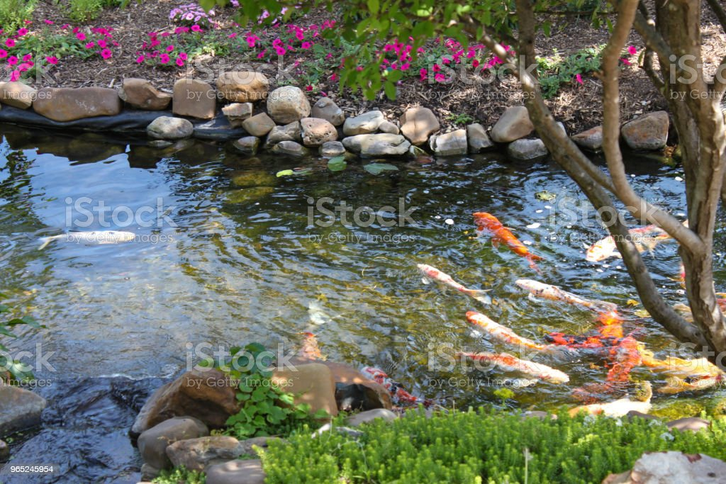 Colorful Koi fish in a rock edged stream lined with trees and flowers - selected focus zbiór zdjęć royalty-free