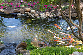 Photo showing a Japanese garden in the summer, with a large koi carp pond, decking, granite snow lantern, bonsai trees, flowering yellow iris, bamboo and a hedging backdrop.