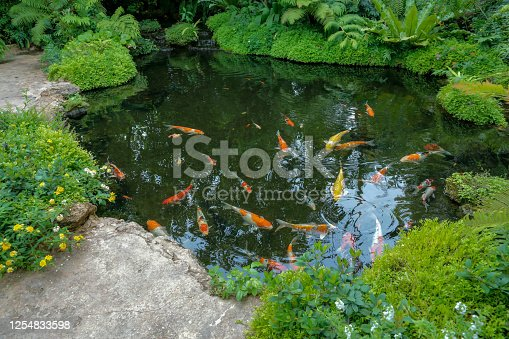 istock Colorful Koi fishes swimming in the pond 1254833598