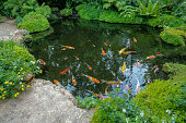 Movement of Fancy Carps Fish or Koi Swim in Pond.