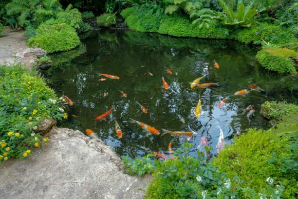 池で泳ぐカラフルな鯉の魚 - 池 ストックフォトと画像