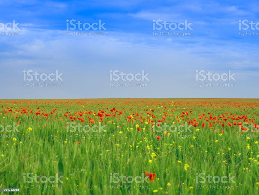 Colorful landscape. Poppy field under the blue cloudy sky royalty-free stock photo