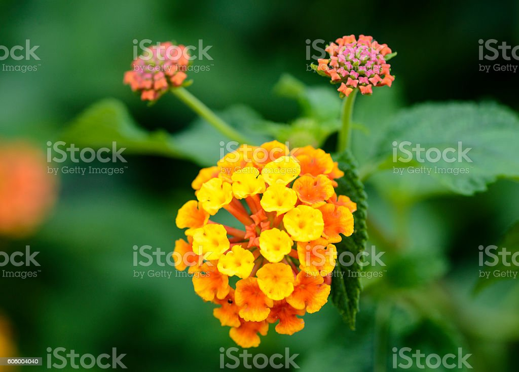 colorful Lantana camara flowers stock photo