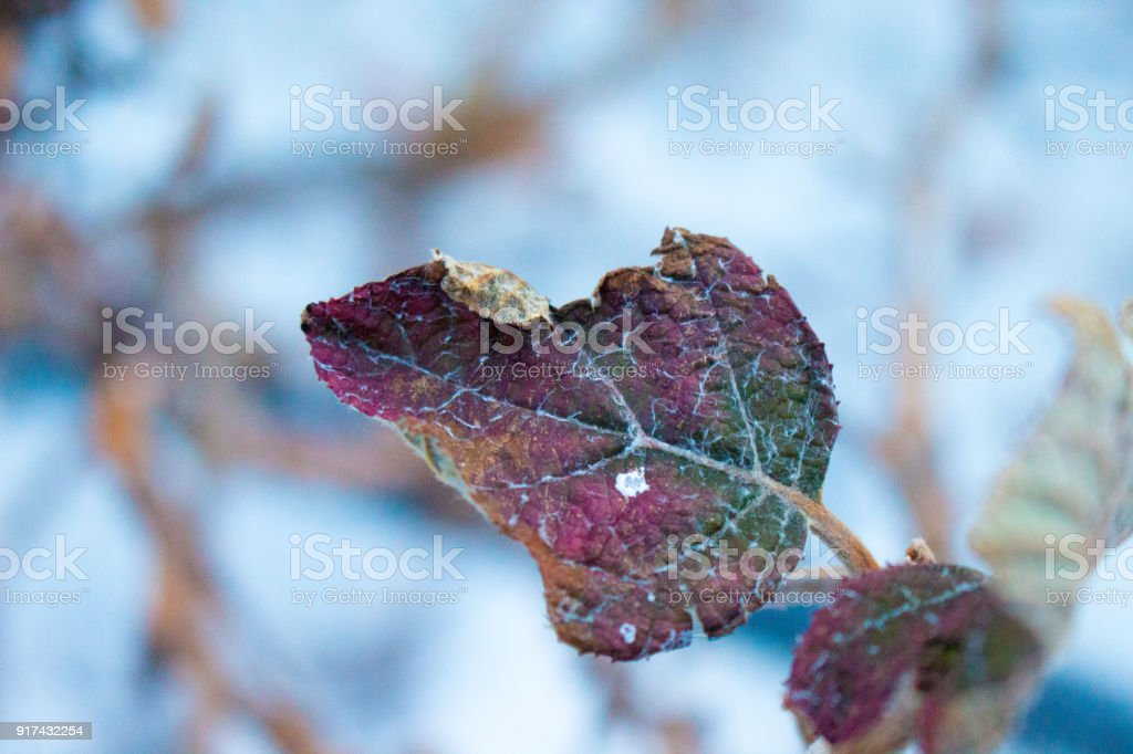 Colorful Leaf in the Snow stock photo