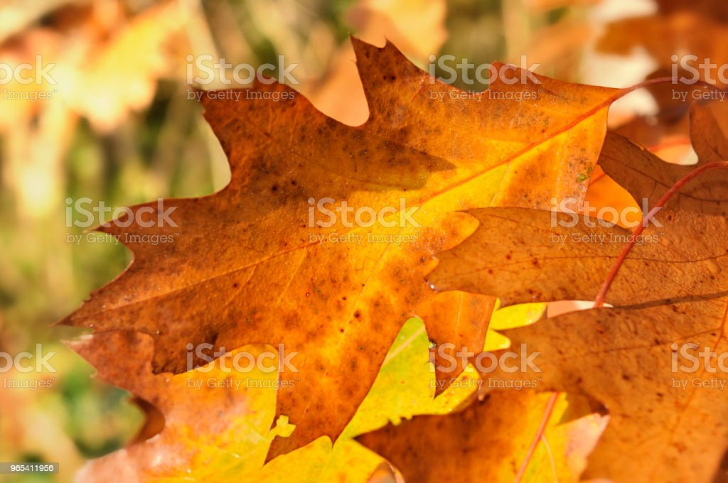 오크의 다채로운 잎 - 로열티 프리 0명 스톡 사진