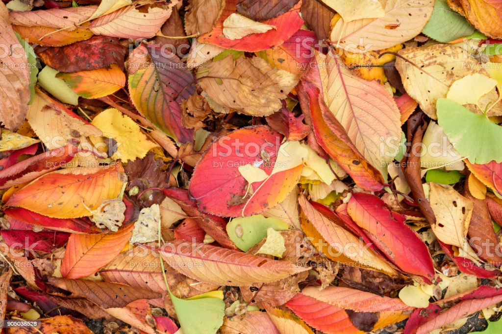 Colorful leaves fresh and dry on earth in autumn garden stock photo