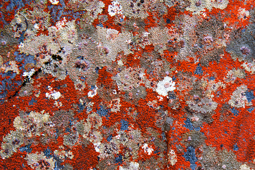 Colorful lichen on rock at Dobson Nature Walk in Arthur's Pass National Park, South Island, New Zealand